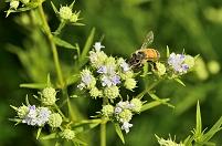岐阜県 国営木曽三川公園 コリアンダーとミツバチ