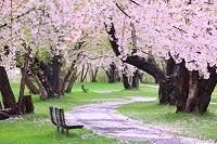 青森県  板柳町 岩木川河川公園 桜並木