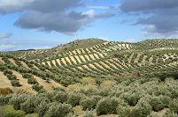 スペイン オリーブ畑