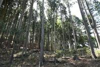 演習林(整備されたスギの植林)