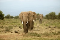 アフリカゾウ