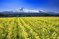秋田県 菜の花畑と鳥海山