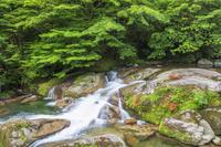 鹿児島県 サツキ咲く白谷雲水峡 入り口付近 屋久島