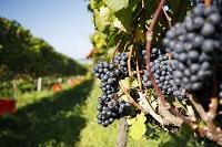 北海道 ワイン畑