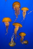 アメリカヤナギクラゲ