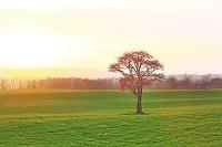 北海道 夕日に草原の一本桜