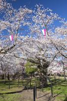 長野県 桜が満開の小諸城址懐古園馬場