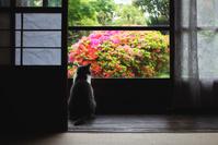 ツツジを眺める猫
