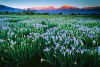 アメリカ合衆国 アヤメの花畑