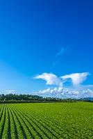 長野県 サニーレタス畑
