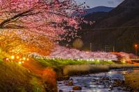 静岡県 河津桜夜景