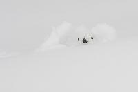 長野県 雷鳥(メス) 雪に埋まる