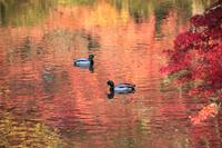 京都府立植物園の紅葉と鴨
