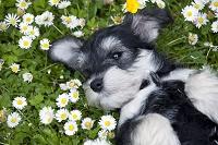 シュナウザーの子犬