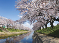 岐阜県 新境川の両岸に咲き誇る百十郎桜
