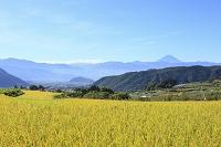 山梨県 山梨市 富士山と稲穂
