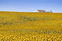 スペイン アンダルシア ひまわり畑