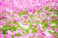 富山県 となみ夢の平コスモスウォッチング