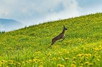 イタリア 花畑をジャンプするノロジカ