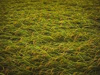 風雨に晒されて傾く稲の穂
