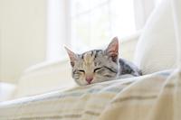 ソファで眠る仔猫