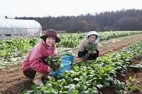 ほうれん草を収穫する農家の婦人