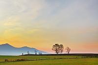 北海道 朝焼けとポプラ 美瑛