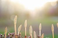 ツクシンボウ芽吹く春