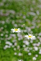 デージー群れる草むらの白菊