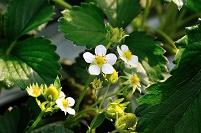 静岡県 伊豆の国市 苺の花