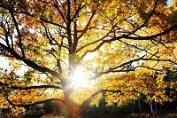 ナラの木の紅葉と光芯