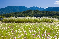 奈良県 藤原京跡のコスモス畑と香具山