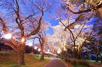 神奈川県 相模原市 大沢地区の夜桜