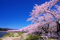 秋田県 桧木内川の桜並木