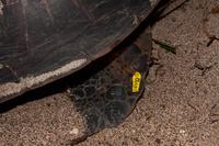 産卵するアオウミガメにつけられたタグ