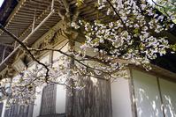京都府 常照皇寺 桜
