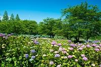 宮城県 愛宕山公園のアジサイ園