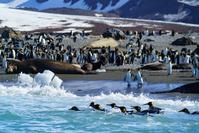 サウスジョージア島 セントアンドリュース湾 キングペンギンと...
