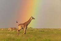 虹とキリン