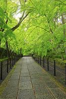京都府 光明寺 雨に濡れる新緑のもみじ参道