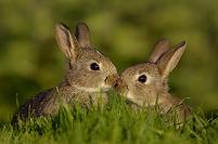 アナウサギの子供