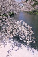 青森県 弘前城の桜と濠の花筏
