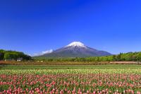 山梨県 花の都公園 チューリップの花畑と残雪の富士山