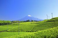 静岡県 残雪の富士山と茶畑
