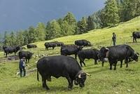 ヨーロッパ山岳地帯の移牧