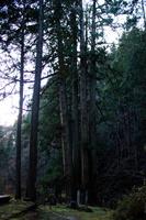 岐阜県 千光寺の五本杉