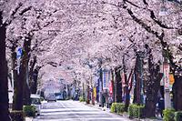 東京都 桜のトンネル 大泉学園通り