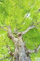 長野県 巨木ブナの新緑