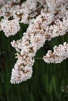 山梨県 桜の八ヶ岳山麓 長坂湖畔のサクラ