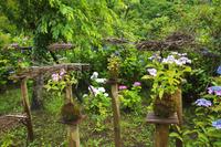 鹿児島県 東雲の里 あじさい園